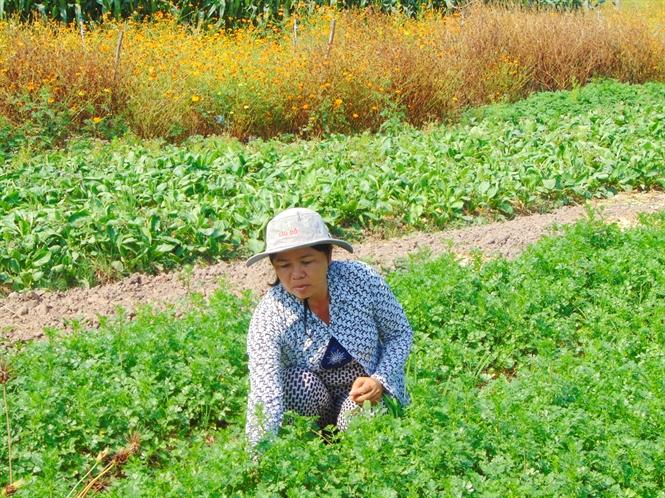Chị Thắm thu hoạch rau màu trên ruộng hoa sinh thái.