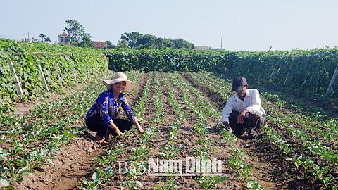 Xã viên HTX Dịch vụ nông nghiệp Nghĩa Phong (Nghĩa Hưng) chăm sóc rau vụ đông.