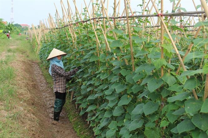 Thâm canh dưa chuột vụ đông ở Hưng Yên.
