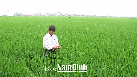 Chăm sóc lúa cấy khảo nghiệm tại xã Xuân Hòa (Xuân Trường).