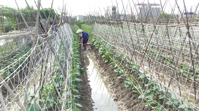 Nông dân xã Quốc Tuấn đang mắc giàn cho dưa hè thu.