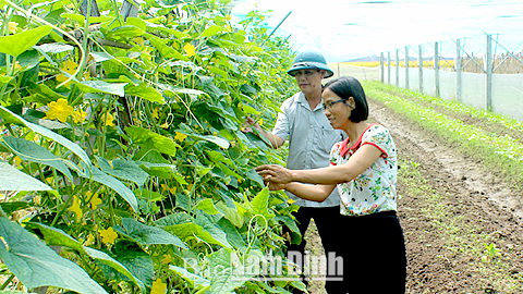 Mô hình trồng rau trái vụ trong nhà lưới ở xã Yên Cường (Ý Yên).