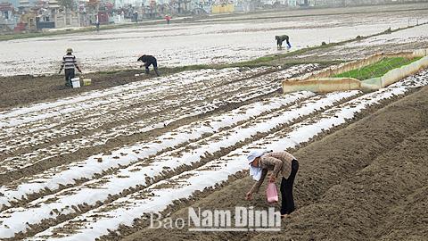 Kỹ thuật trồng lạc che phủ ni-lông ở huyện Ý Yên.