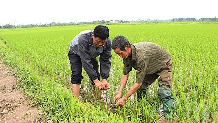 Kết quả hình ảnh cho diệt chuột tại ruộng lúa